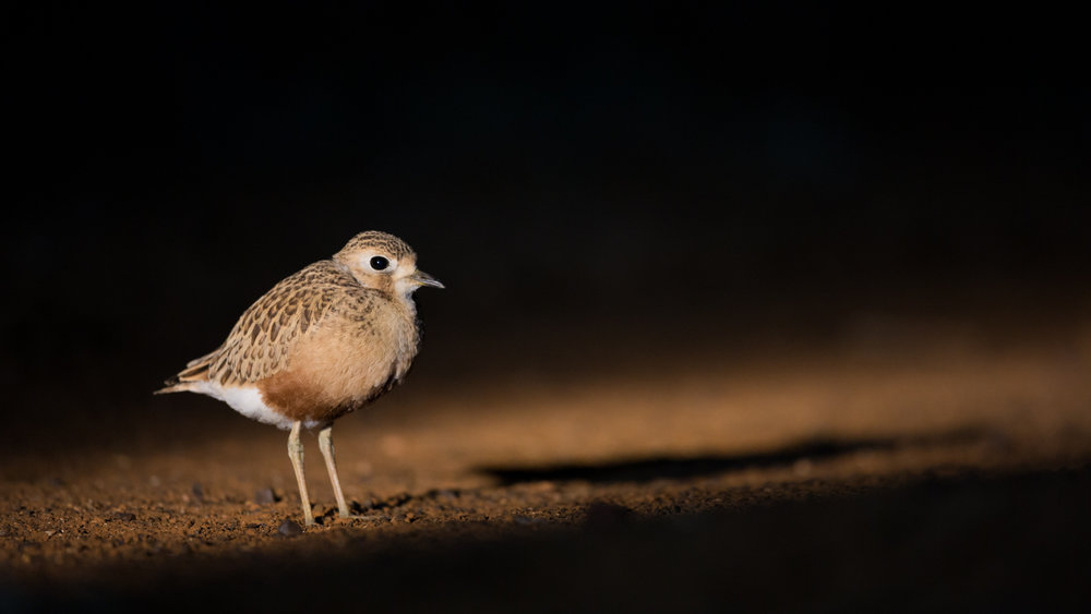 Inland Dotterel_David Stowe-2485.jpg