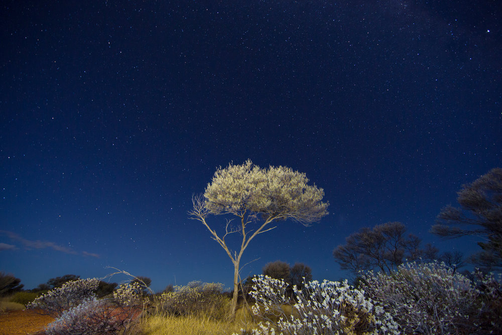 Spinifex_Stars_Tree ©David Stowe-0249.jpg