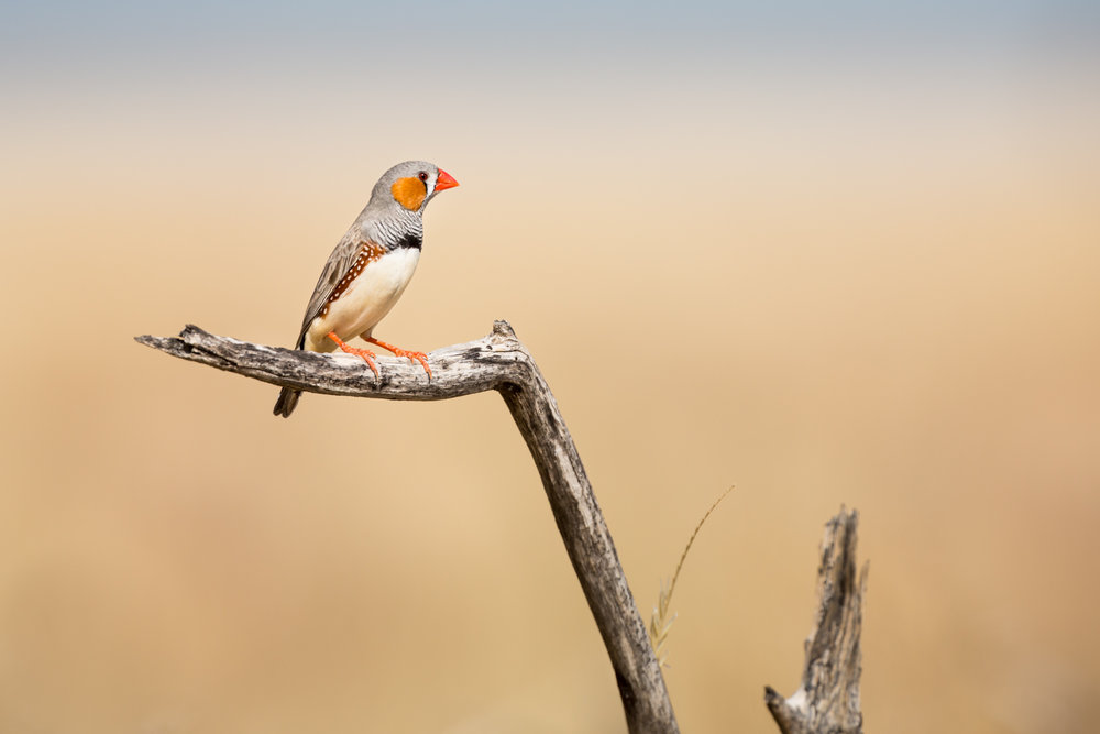 Zebra Finch_David Stowe-0811.jpg
