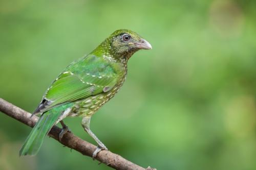 Green Catbird_David Stowe-3512-2.jpg