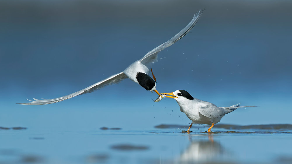 Fairy Tern_Shelley_6980.jpg