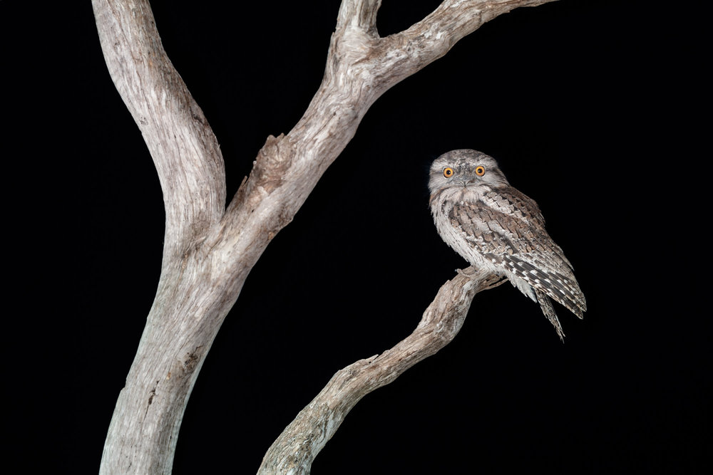 Tawny Frogmouth_David Stowe-5658.jpg