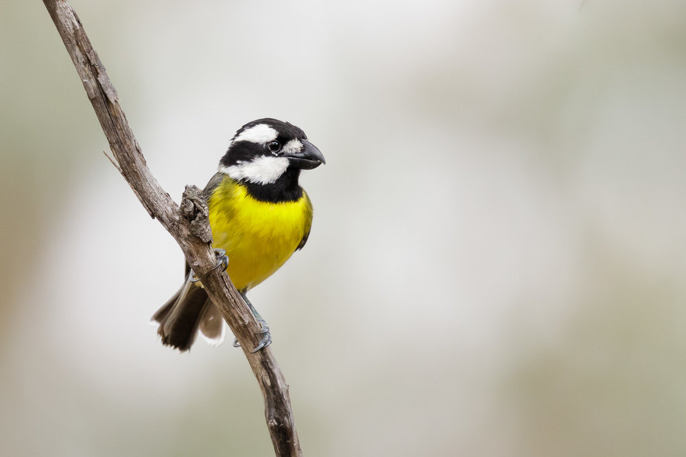 Crested Shrike-Tit_David Stowe-2098.jpg