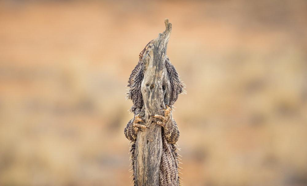 Bearded Dragon_David Stowe-.jpg