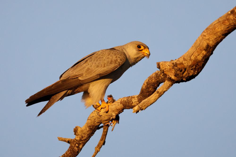 Grey Falcon_David Stowe-0008.jpg