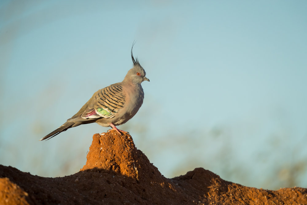Crested Pigeon_David Stowe-2429.jpg