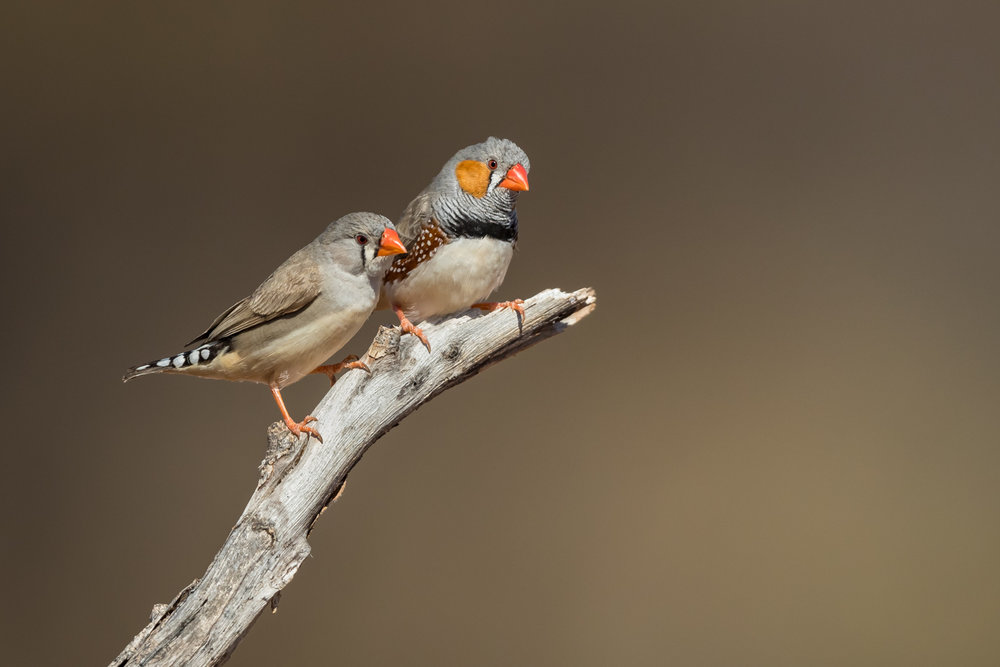 Zebra Finch_David Stowe-0039.jpg
