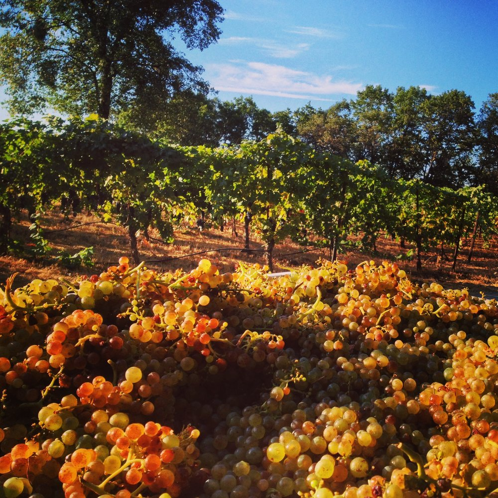 Sumu Kaw Vineyard  - Sierra FoothillsThe name means