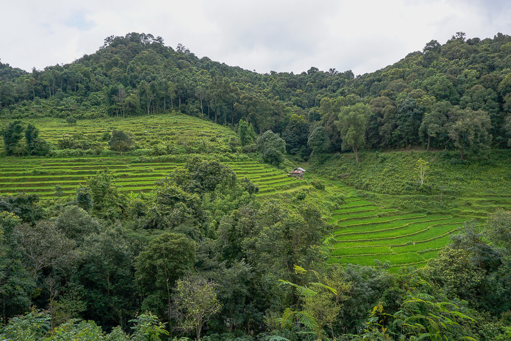 Rice fields in Chiang Mai