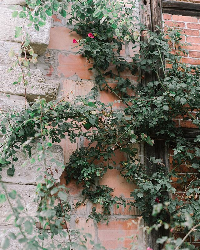How romantic is an old building with roses #hochzeitsfotograf #hochzeitsfotografin #schlosshochzeit #hochzeitsreportage #fineartwedding #fineartweddingphotographer #hochzeitsreportage #fotodestages #hochzeitsfoto #braut2018 #heiraten2018 #wirheiraten2018 #braut2018 #hochzeit2018 #wedding2018 #wedding2019 #instabraut #instabräute #hannoverliebt #mareikemurray #mareikemurrayphotography #verliebtverlobt