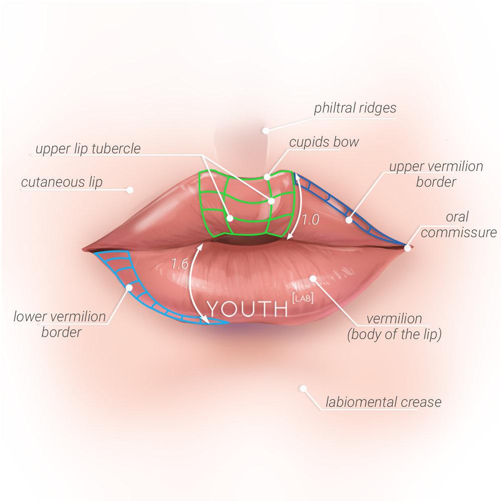 2018-12 Lip Anatomy Graphic.jpg