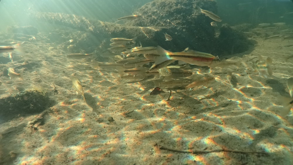 save the redside dace the great lakes challenge