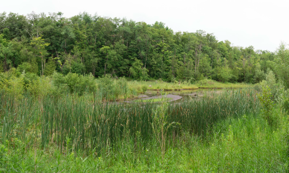A natural channel forming in Spring Pond after drawdown. - Terra Cotta Conservation Area