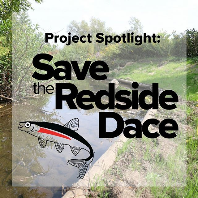 Check out our latest commentary from Swim Drink Fish Canada President, Mark Mattson on our Save the Redside Dace project.  https://www.greatlakeschallenge.ca/news/2017/9/27/project-spotlight-save-the-redside-dace  #GLC2017 #SavetheRedsideDace #swimdrinkfish