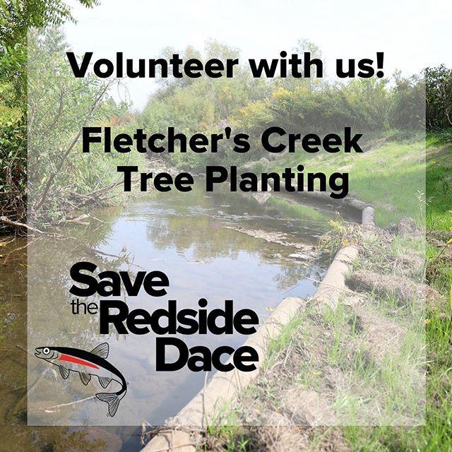 Join Ontario Streams on October 21st to plant native shrubs on Fletcher's Creek to help protect redside dace habitat. Sign up online greatlakeschallenge.ca/volunteer  #GLC2017 #SavetheRedsideDace #swimdrinkfish