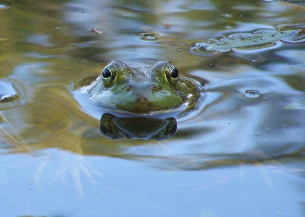 basho's frog2.jpg