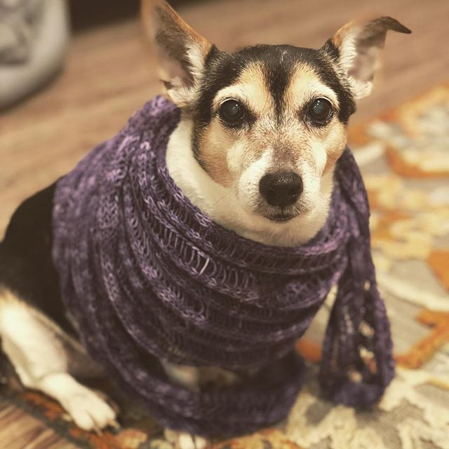 When it's this cold outside, even the #doggy needs a shawl! #dogsinshawls #babyitscoldoutside #sheisworkingit #dogsthatknit #knitstagram #yarnbasketmaryland #clapoktus #araucaniayarns #purpleshawl