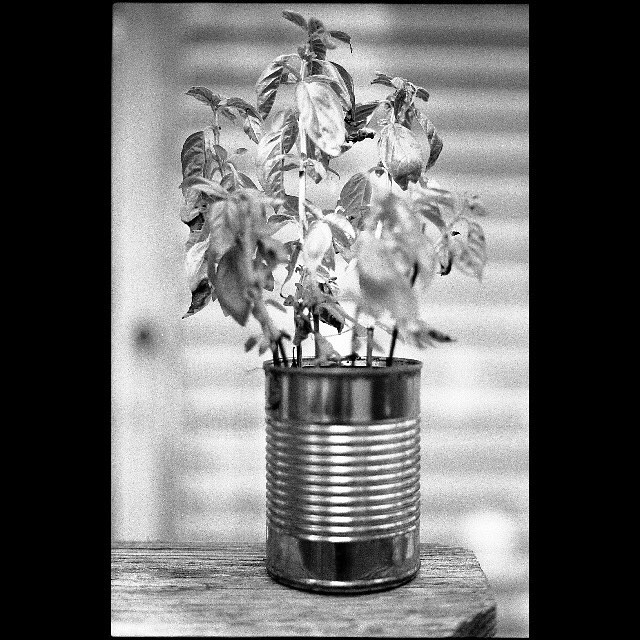 backyard basil. • Nikon F2 Nikkor-S 50mm f/1.4 Ilford hp5+ • #nikonf2 #ilfordhp5 #blackandwhite #film #filmisnotdead #filmisalive #filmphotographic #photofilmy #filmphotography #heyfsc #filmcommunity #ishootfilm #believeinfilm #buyfilmnotmegapixels #35mm #35mmfilm #analog #analogphotography #filmcommunity #justgoshoot #staybrokeshootfilm #shotonfilm