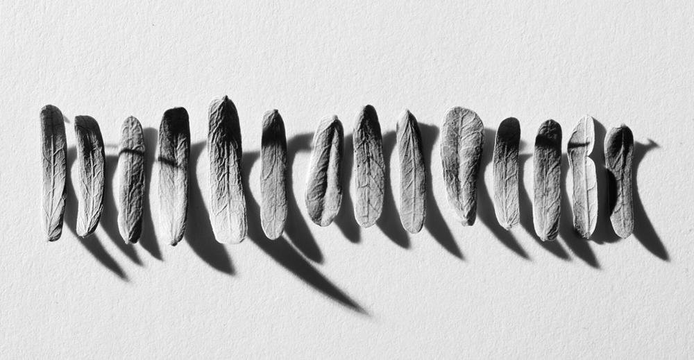 Mesquite petals lineup, 2016, digital capture