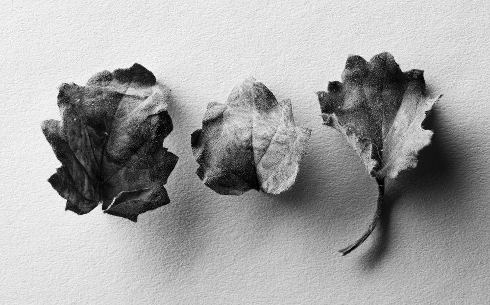 Phacelia leaves, 2017