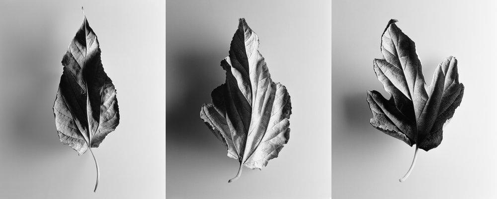 Leaf triptych 1, circa 1990
