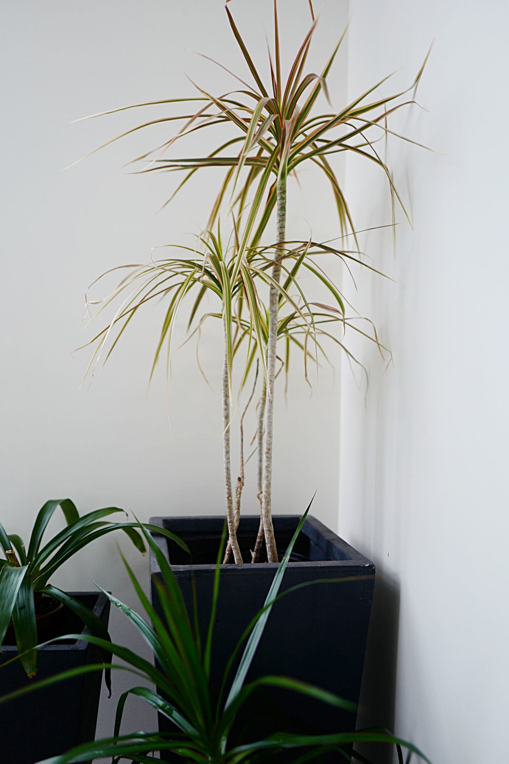 Tope 5 House Plants- Spider Plant- Home- A Briutiful Life