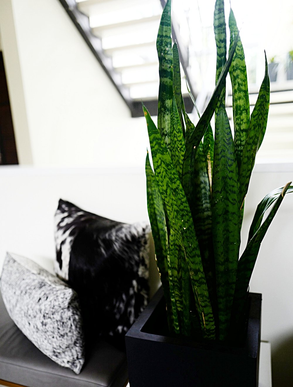 Top 5 House Plants- Snake Plant- Home- A Briutiful Life