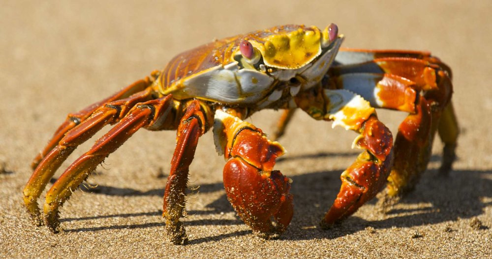 Sally Lightfoot Crab at Waters Edge.  Credit  Benjamin Jakabek/Flickr  (CC BY-NC-ND 2.0)