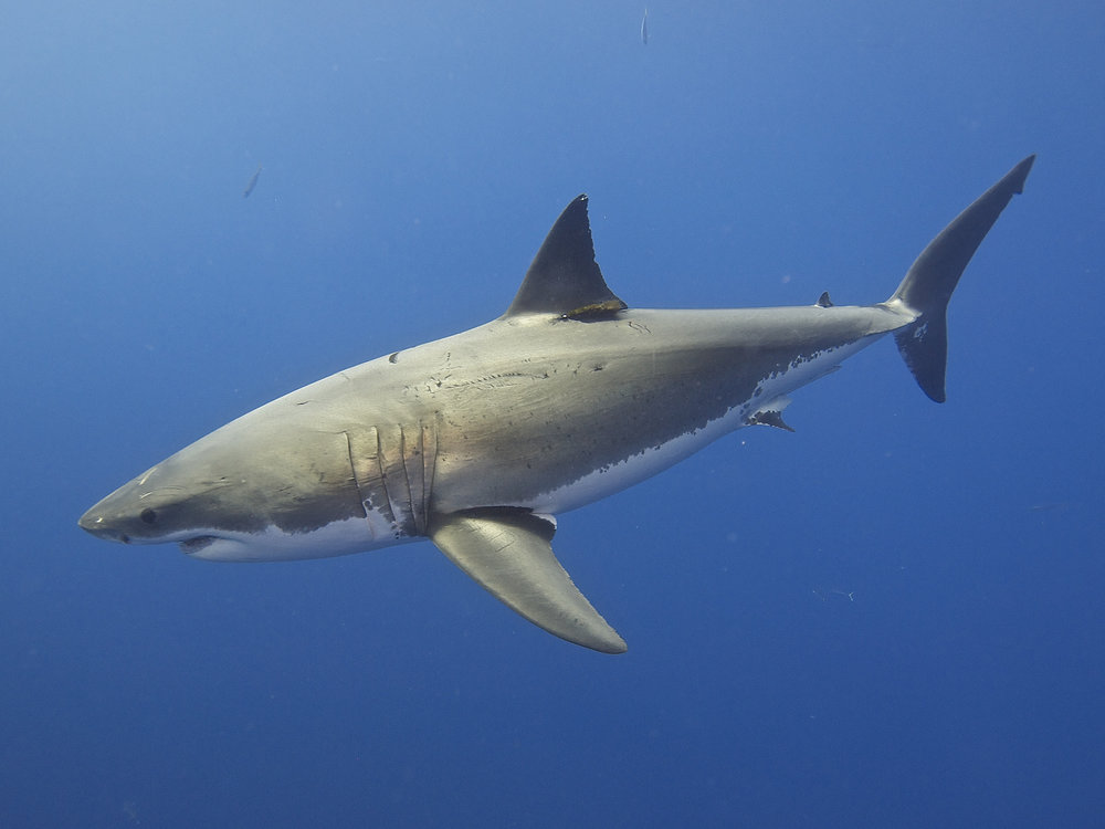 Great white sharks have huge home ranges, moving vast distances across the ocean. Credit Elias Levy/Flickr (CC BY 2.0)