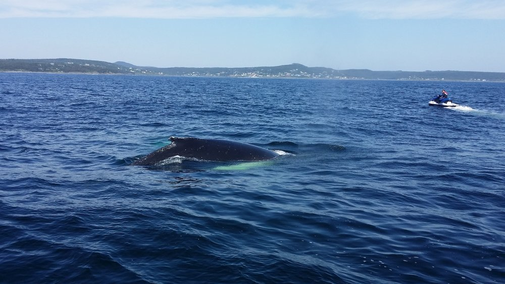 A female humpback whale in Witless Bay, Newfoundland. There was also a calf, but you cannot see it in this photo. Credit: Samantha Andrews/Ocean Oculus.