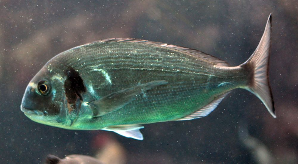 Gilthead seabream (Sparus aurata). Credit Citron/Wikipedia (CC BY-SA 3.0)