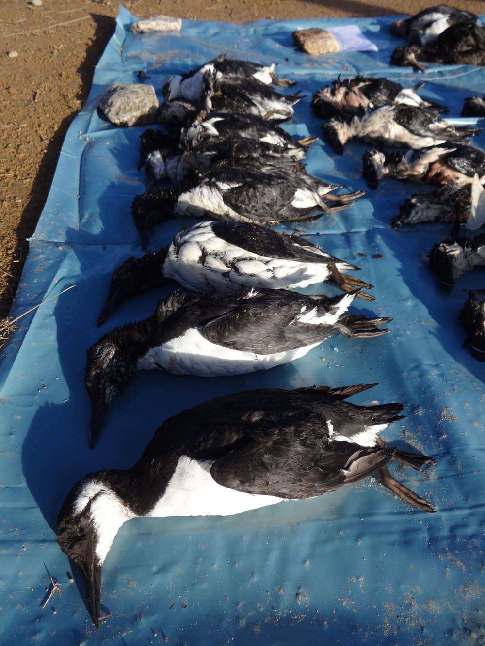 Many of the birds appeared to be in good condition. Credit: Samantha Andrews/Ocean Oculus