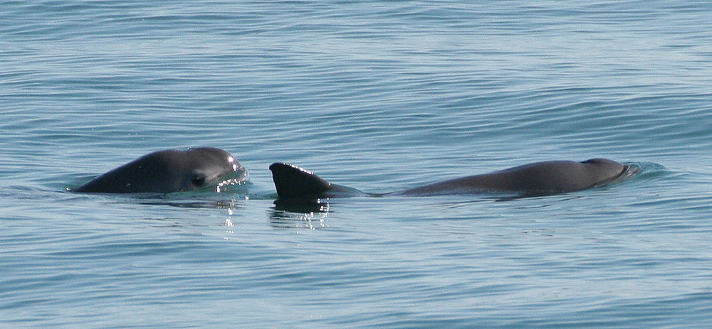 Two vaquita in the Gulf of Mexico. Image credit:  Paula Olson /NOAA, and cropped by WolfmanSF/Wikimedia (Public Domain)