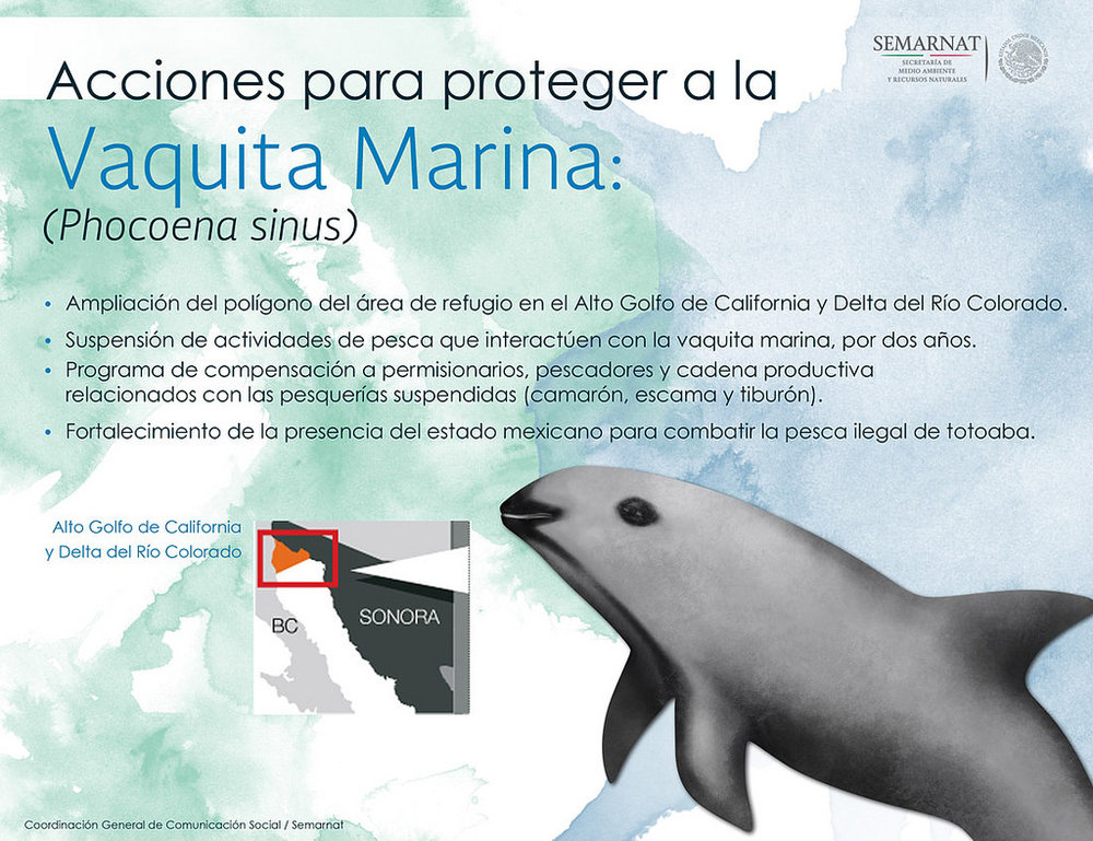 Vaquita has been the focus of many conservation campaigns for a number of years. Image credit  SEMARNAT/Flickr  (Public Domain)