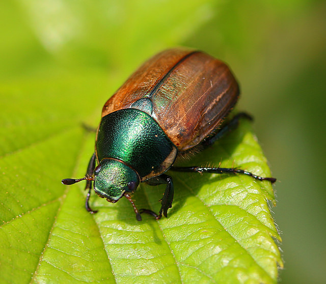 The rather beautiful  dune chafer  ( Anomala dubia ) by  Nick Goodrum/Flickr  ( CC BY 2.0 )