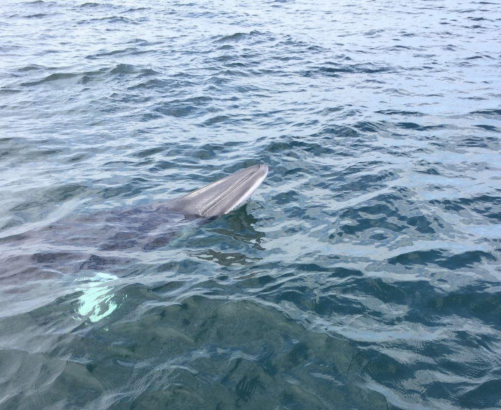 Minke whale sighted off David's, Pembrokeshire. Credit: Brian Bowen/Sea Watch Foundation.