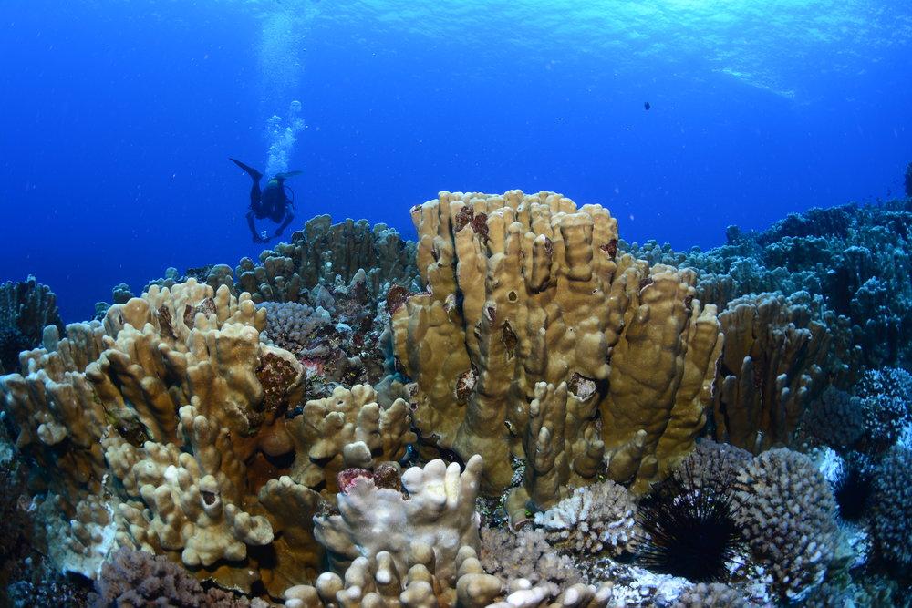 Sea bottom form Easter Island (Rapa Nui). Credit: Alejandro Pérez-Matus - Subelab (with permission)