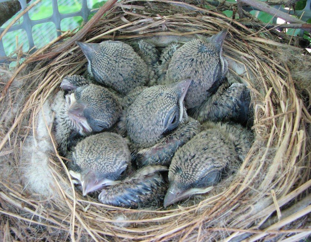 TA-Shrike Chicks - 10 days old1.JPG