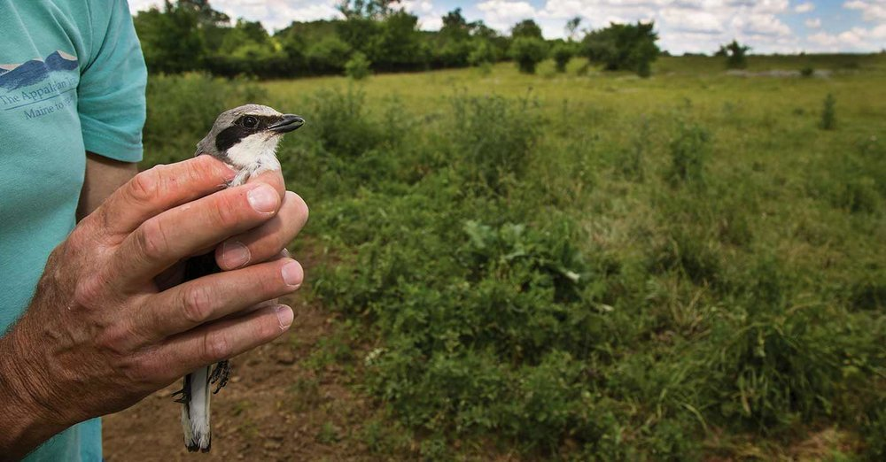 What's going on with the butcher bird? - Learn about the activities happening in Virginia, led by Department of Game & Inland Fisheries Biologist, Sergio Harding.(Published in Virgina Wildlife magazine)