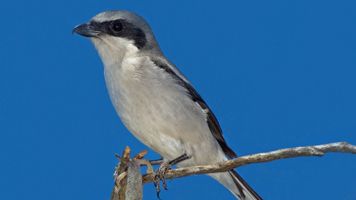 This tiny songbird rolls its head to break its victim's neck - The Loggerhead Shrike is a hawk trapped in the body of a finch.  A recent study, published in Biology Letters, describes how shrikes manage to kill prey up to twice their size.  (The Atlantic - Sept 5, 2018)