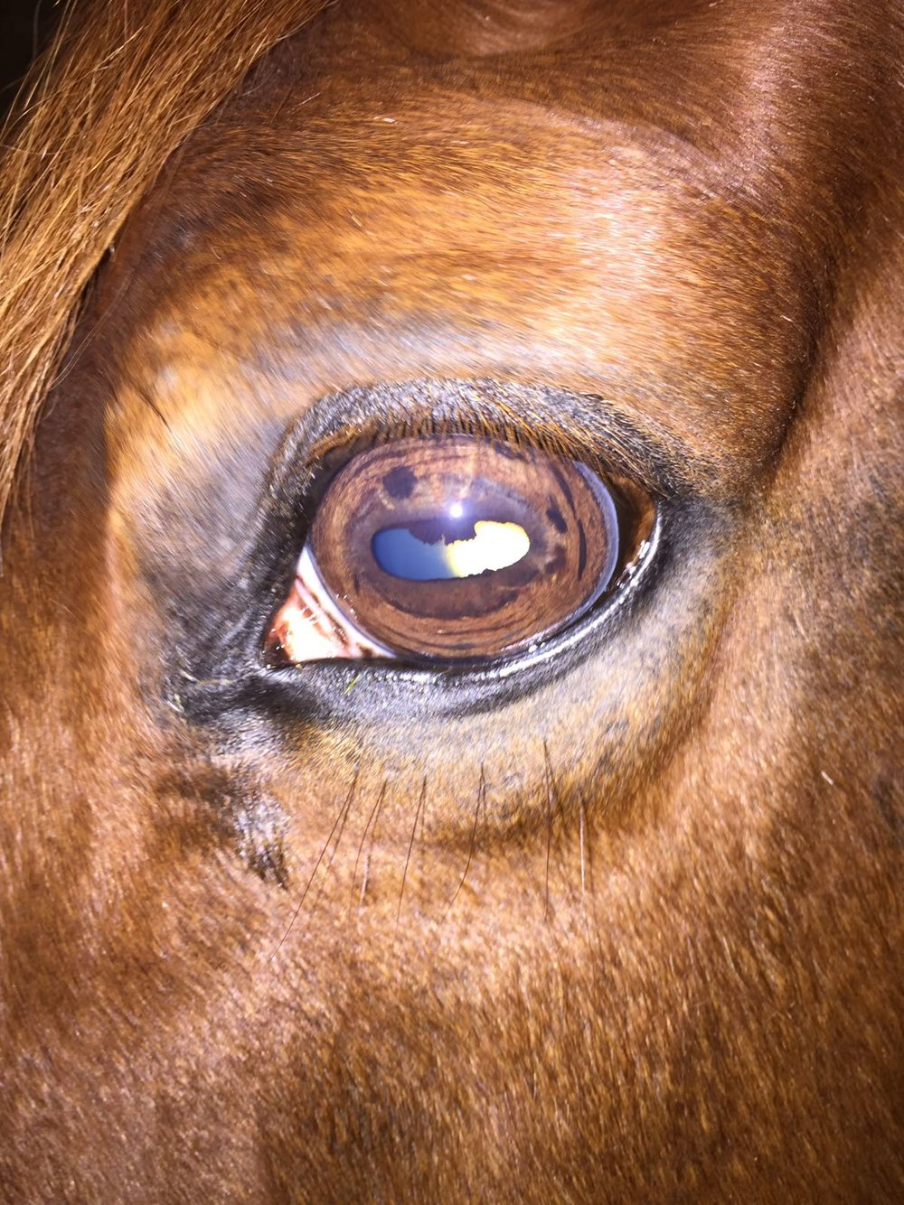 "The marks in this mares eye are quite bad and she will have been very uncomfortable for a long time. The marks shows head trauma so is probably a head shaker. On examination of both eyes she showed a completely toxic digestion, pain in her ovaries and uterus and shows lung and kidney damage along with many other painfull areas due to stress through her back muscles. All these issues can be addressed with herbs if only the owner knew what was going on and not accepted that ""it's just the way she is.....highly strung and moody and bucks for Britain....but that's just the way she has always been and you learn to deal with it""..............."