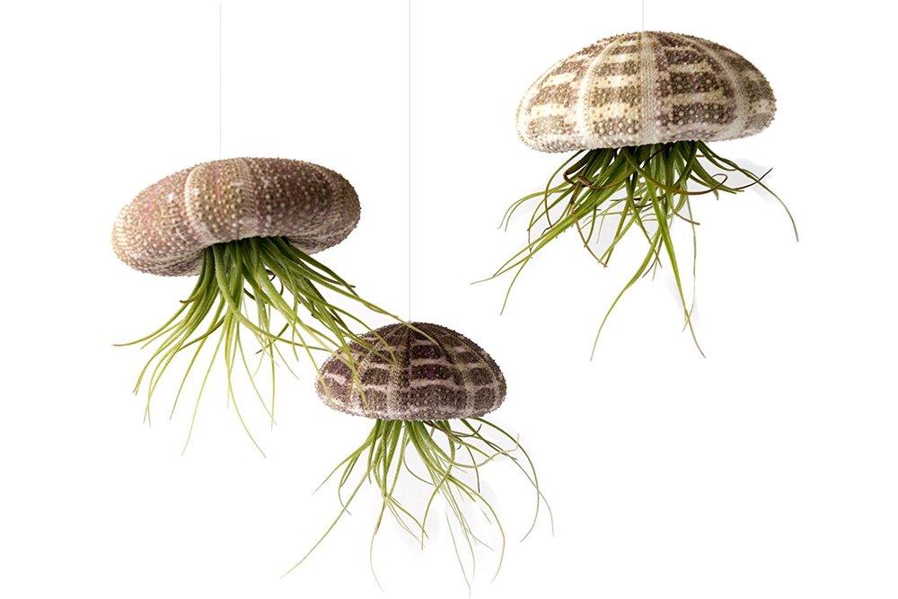 Jelly Fish Air Plants.jpg