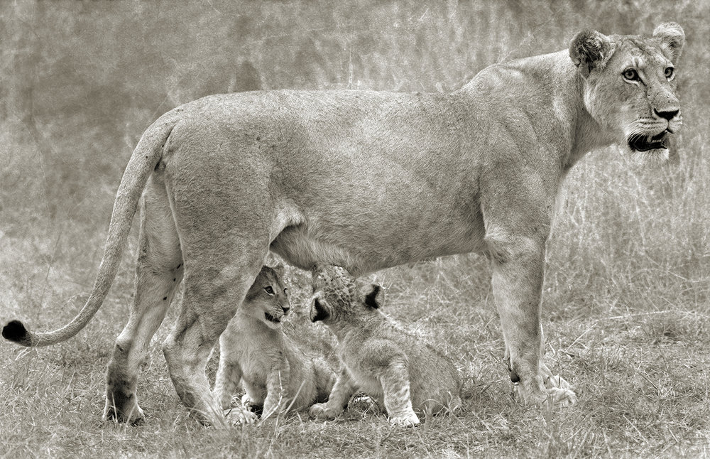 LION CUBS SUCKLING