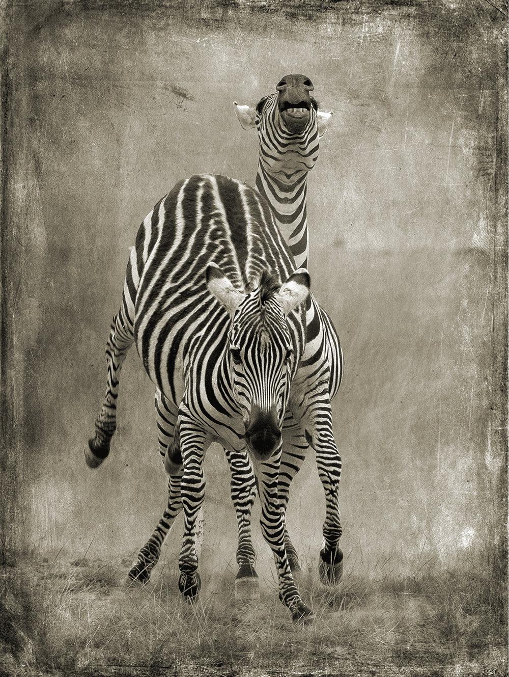 PEC_Zebra Kicking_5364.jpg