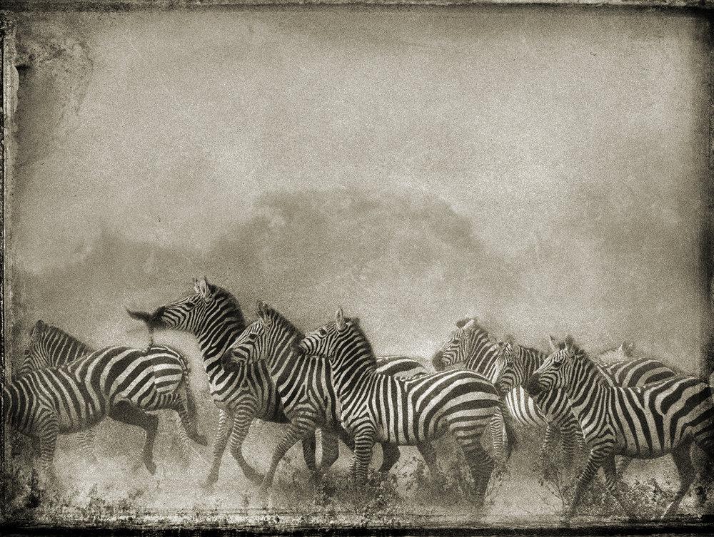 Zebra Herd copy.jpg