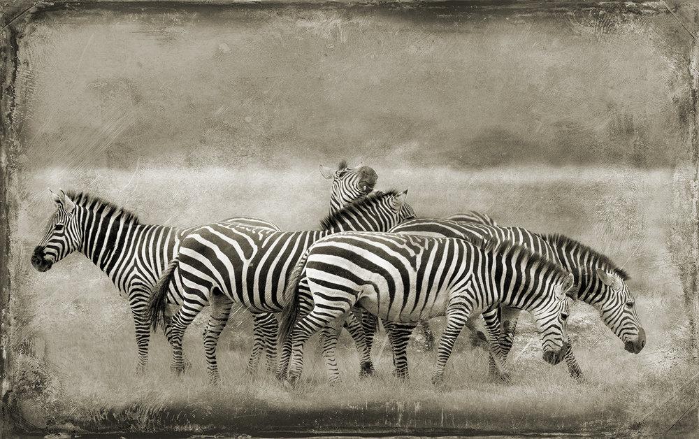 Controlled Zebra Chaos copy.jpg