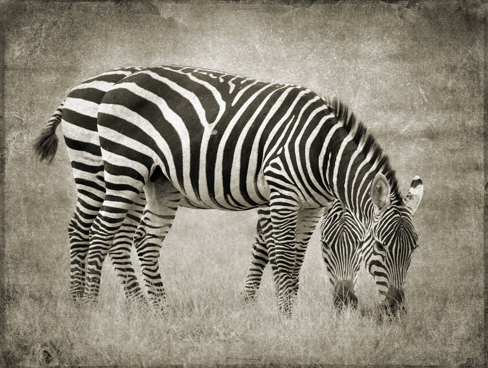 PEC_2018_Two Zebra_5288 copy.jpg