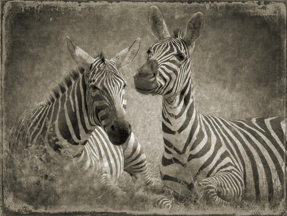 PEC_Two Zebras_7958 copy.jpg