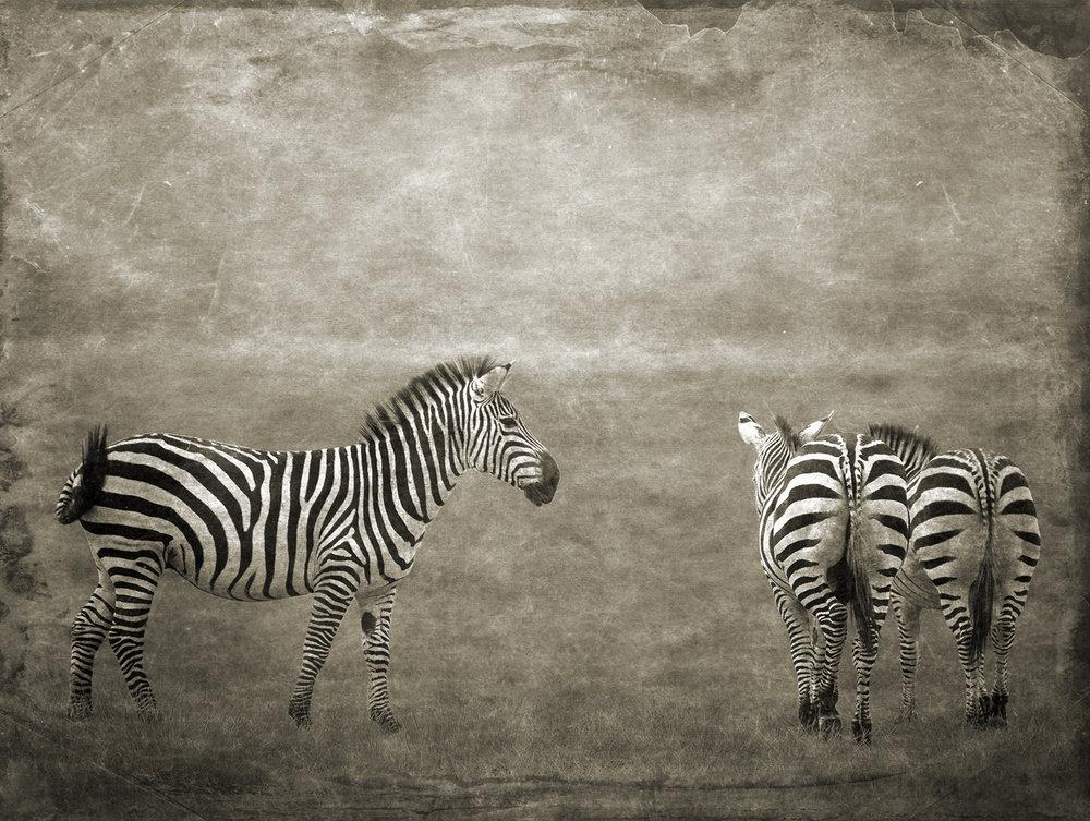 One Plus Two Zebras copy.jpg