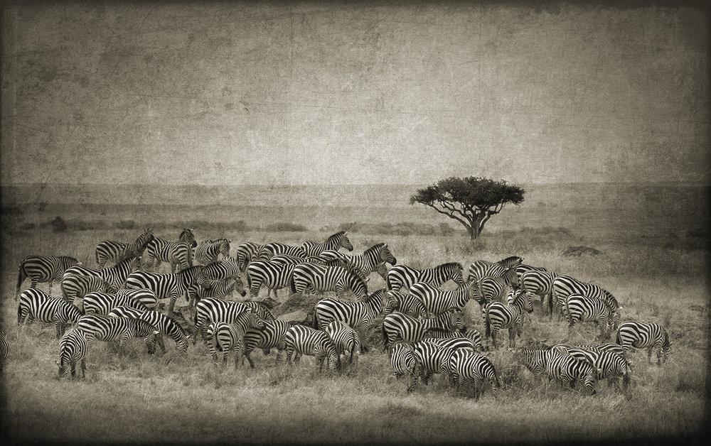 PEC_Gathering Zebras_2727 copy.jpg